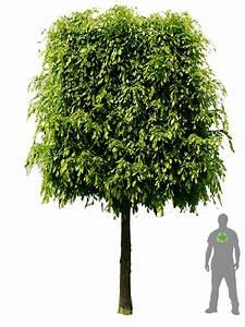 Hainbuche Baum Schneiden : hainbuche spalier hochstamm carpinus betulus ~ Watch28wear.com Haus und Dekorationen