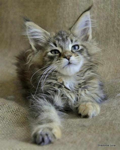 Do Maine Coons Shed Their Mane by 25 Best Ideas About Maine Coon Kittens On