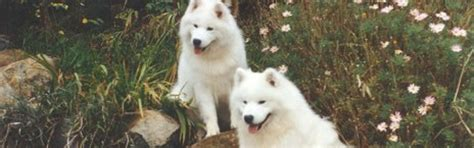 Do Samoyeds Shed All Year by 100 Do Samoyeds Shed All The Time 45 Best Samoyeds