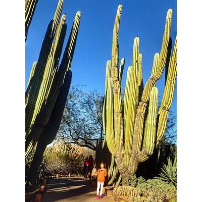 cardon-cactus-pachycereus-pringlei-cacti-succulentsThe