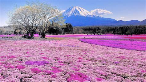 1920x1080 Pink Flower Field Mount Fuji desktop PC and Mac ...