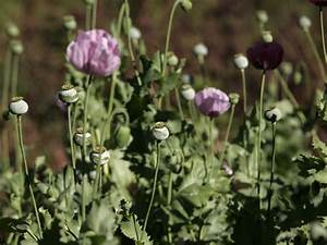 The US heroin boom is forcing Mexican opium farmers to ...