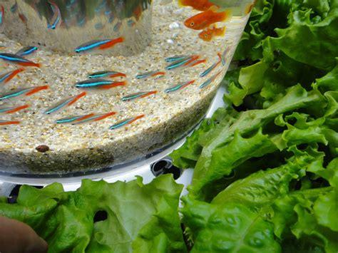 syphon cuisine aquaponics syphon problem