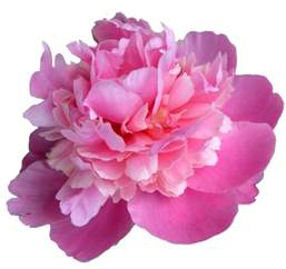 flower headband transparent pink peony