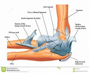 Ligaments Of The Elbow Stock Photography