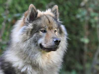 eurasier information characteristics facts names