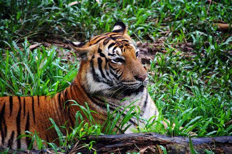 borneo tiger stock photo image  tigers stripes animal