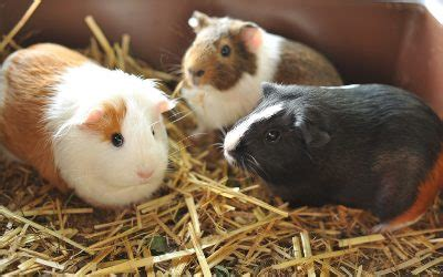 common guinea pig illnesses signs   treatments