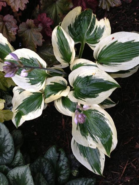 are hostas annuals or perennials 502 best images about plants perennials hosta on pinterest buy plants plants and hosta plants