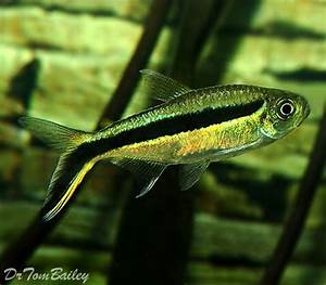 Best 25 Tetra Fish ideas on Pinterest