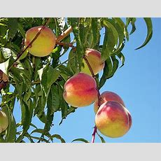 How To Grow Fruit Trees  The Garden Glove