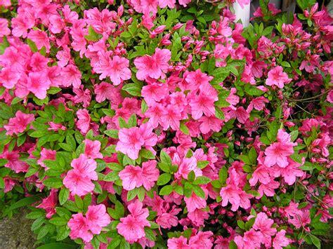 azaleas in pots care care for azalea both indoor and outdoor azalea typesofflower