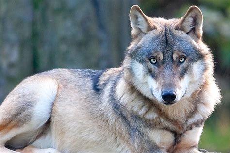 Wie Unterscheidet Man Zwischen Wolf Und Wolfhund?