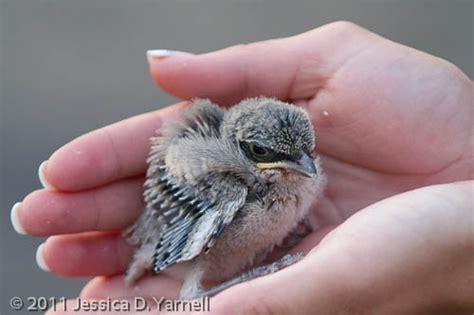 tiny baby mockingbird catandturtle