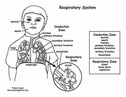 Respiratory System Coloring Pages Endocrine Diagram Unlabelled