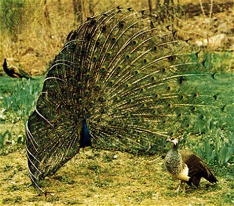 peacock   bird   Britannica.com