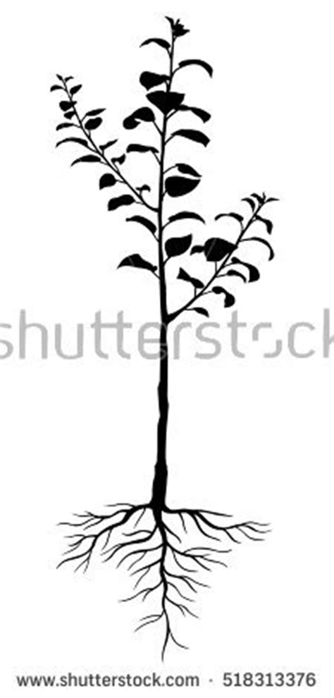 apple tree with roots drawing plant roots stock images royalty free images vectors