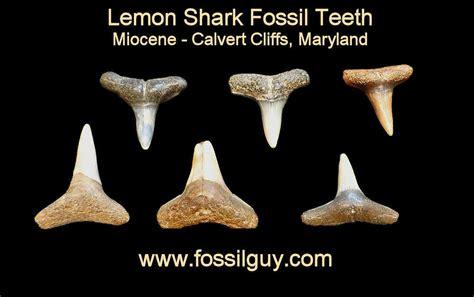 Fossil Shark Tooth Identification for Calvert Cliffs of ...