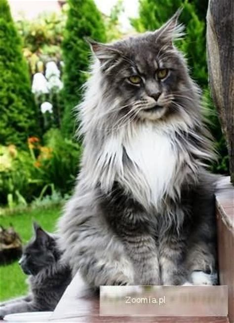 akord maine coon koty archiwum zoomia pl