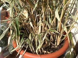 Bambus Im Winter : bambus einfach in der h he k rzen pflegen schneiden veredeln green24 hilfe pflege bilder ~ Frokenaadalensverden.com Haus und Dekorationen