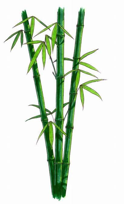 Bamboo Clipart Background Cartoon Transparent Plant Grass