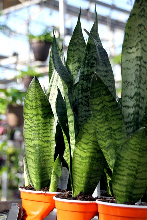 Snake Plant - Colasanti's Tropical GardensColasanti's ...