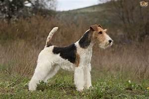 Fox terrier hereditary health and genetic diversity ...