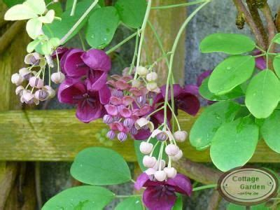 akebia quinata die klettergurke fazinierend in garten terrasse pflanzen b 195 164 ume str 195