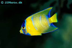Blue Angelfish – Holacanthus bermudensis