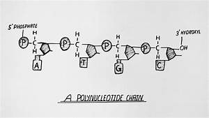 Diagram Of Polynucleotide Chain