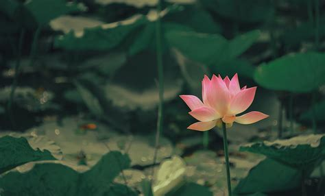 relaxing lotus images pexels  stock
