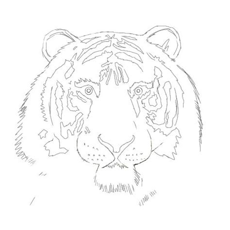 tiger drawing  drawing lessons
