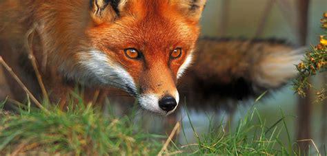 European Fox  Pestsmart Connect