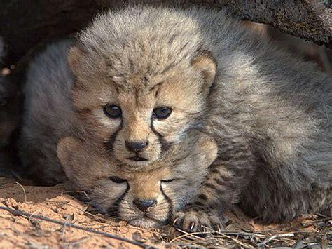 cheetah mortality rate