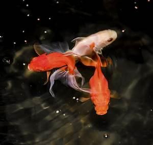 Goldfisch Haltung Im Teich : goldfische berwintern so kommen die tiere durch den ~ A.2002-acura-tl-radio.info Haus und Dekorationen