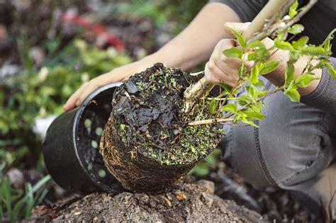arbre en pot comment planter un arbre en pot d 233 tente jardin