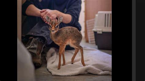 ce b 233 b 233 antilope ne mesure que 19 cm mais il peut d 233 j 224 bouger nez