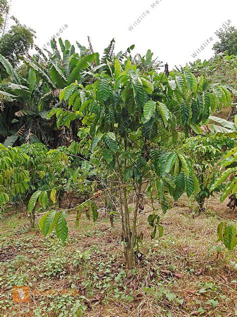 bestellen kaffeepflanze kaffeepflanze bild bildagentur