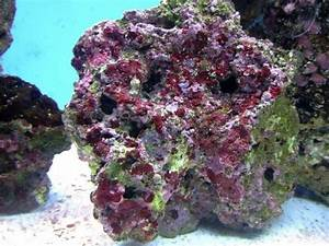What is the best way to encourage coralline algae growth ...