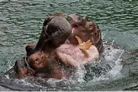 Hippos Eating People hippos eating people Car Tuning  Hippopotamus Eating People