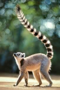Ring-tailed Lemur Madagascar