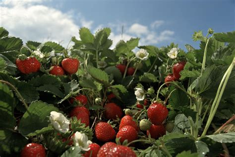 organically control strawberry pests