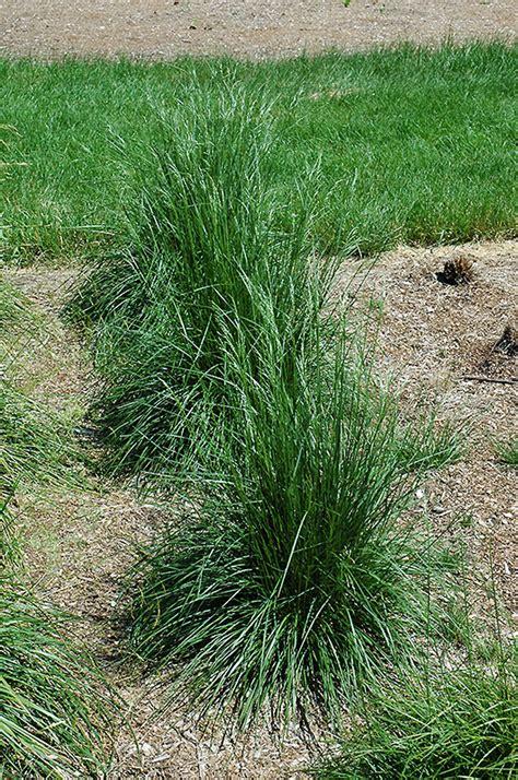 schottland hair grass deschampsia cespitosa schottland  inver grove heights minnesota mn