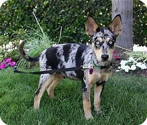 DIMITRI | Adopted Puppy | Newport Beach, CA | Australian ...