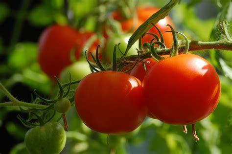 Tomaten Sorten, Anbau, Pflege Und Ernte Beetfreundede