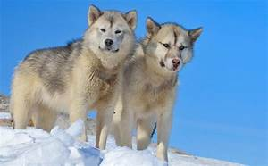 8 Truly Wonderful Sled Dog Breeds You Should Know About