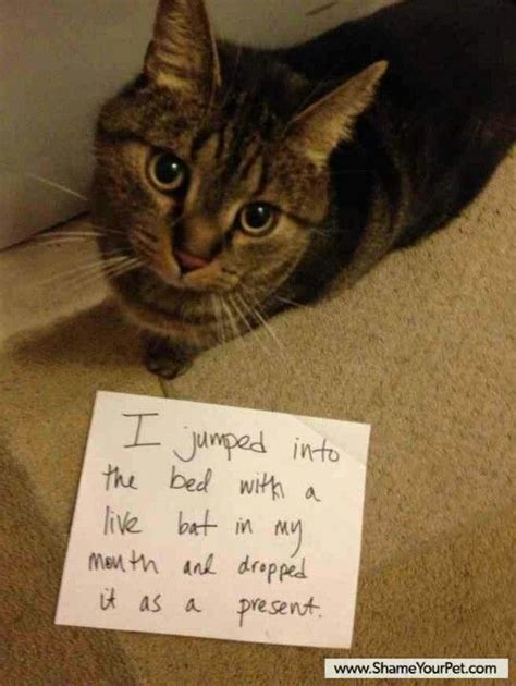 cat shame hall  shame pinterest dog shaming kitty