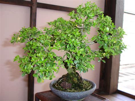 bonsai baum pflege bonsai baum pflege zu hause