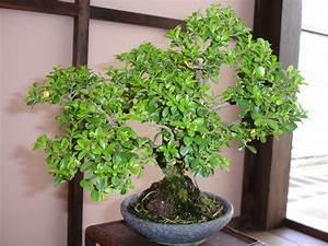 Pflege Bonsai Baum Indoor : bonsai baum pflege zu hause ~ Michelbontemps.com Haus und Dekorationen