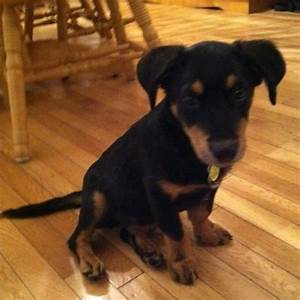 Dachshund Rottweiler mix adorable | Obsess much ...
